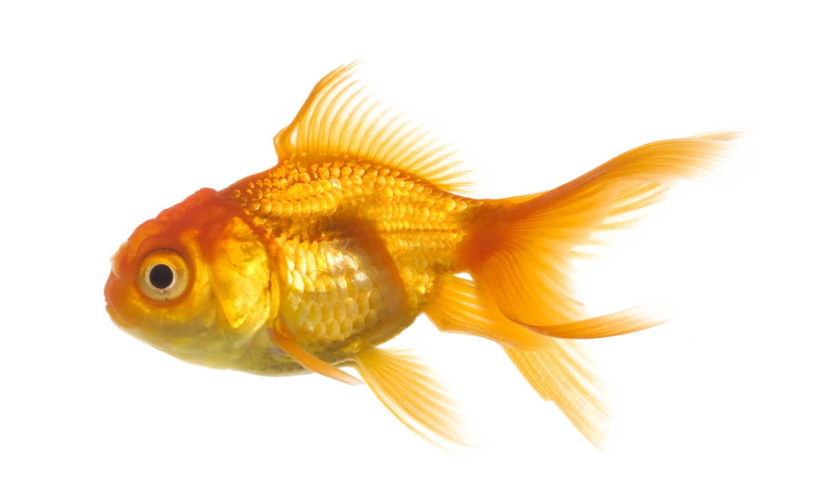 Goldfish clipart transparent background. Real fish png mart