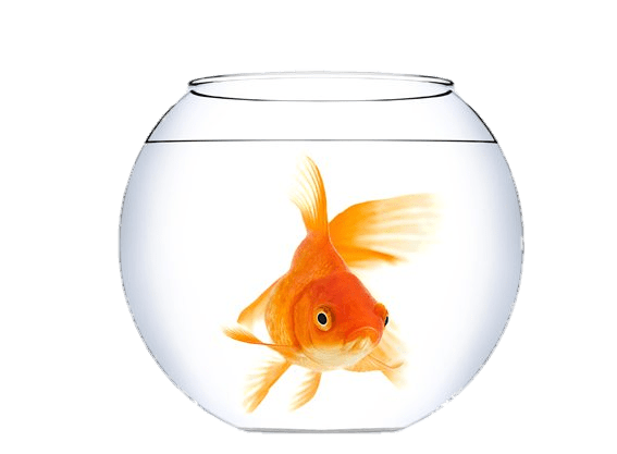 Transparent bowl gold fish. Goldfish in a png