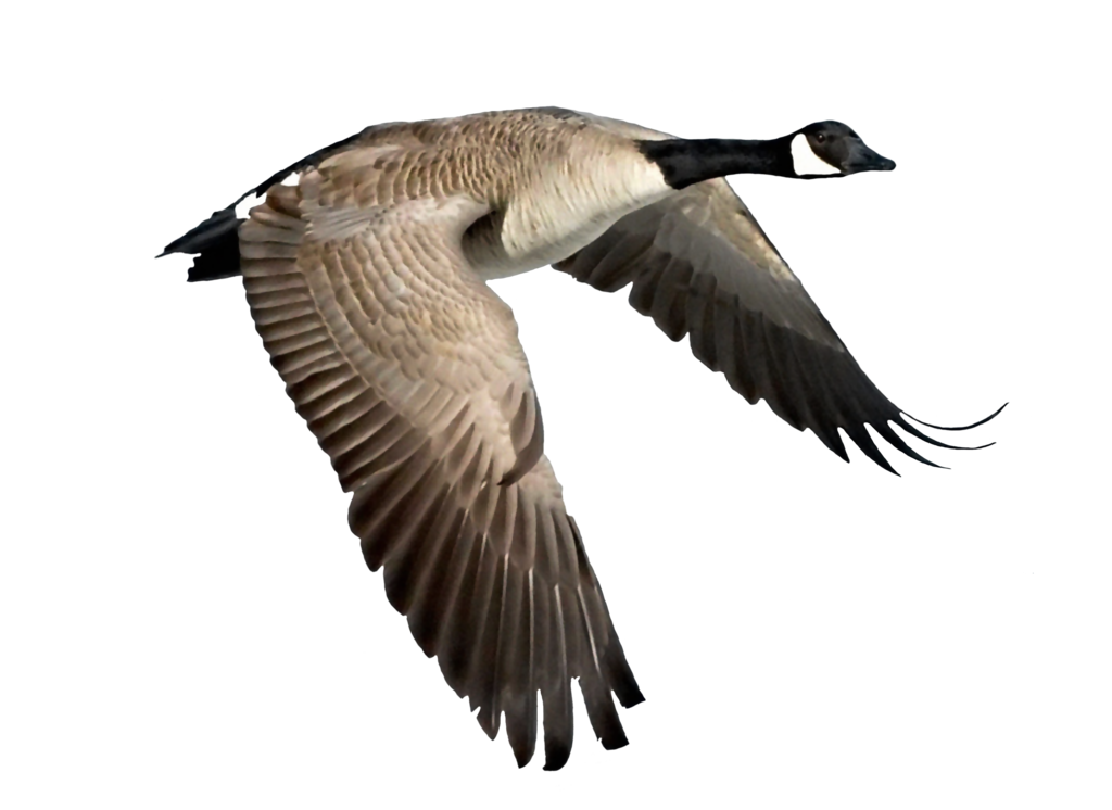 goose transparent landing