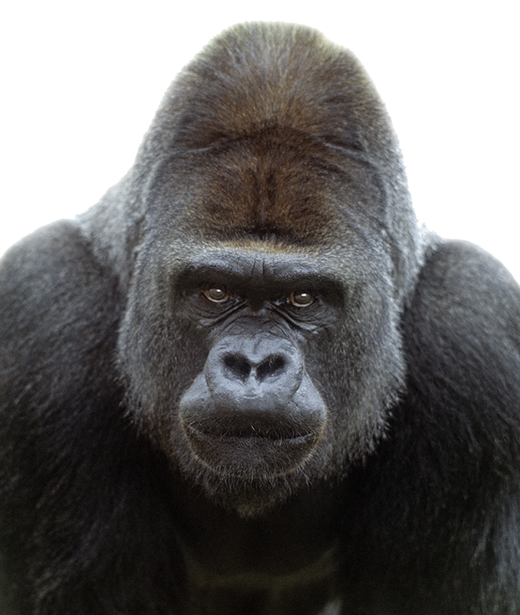 Gorilla face png. Images transparent free download