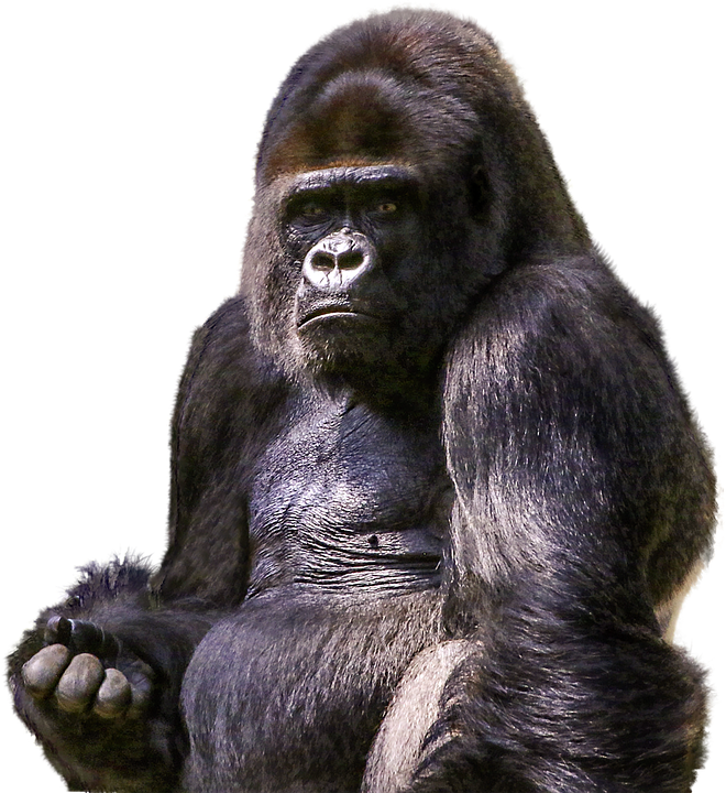 Gorilla face png. Images free download gorillas
