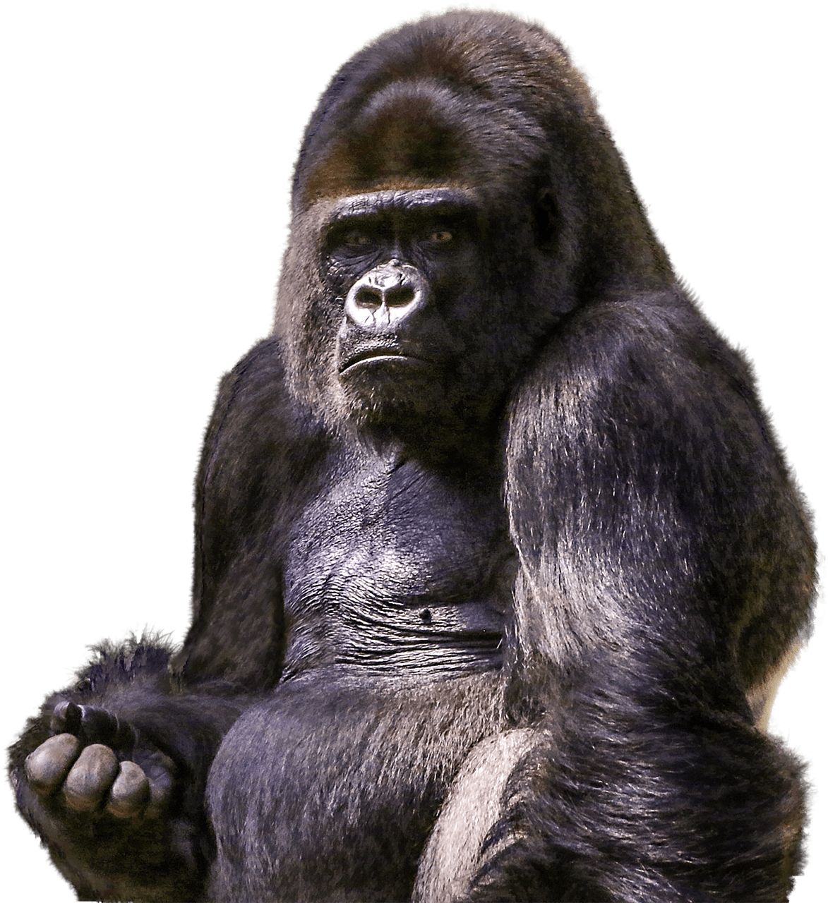Gorilla face png. Sitting transparent stickpng animals
