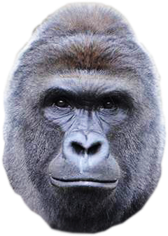 Gorilla head png. Image harambe community central