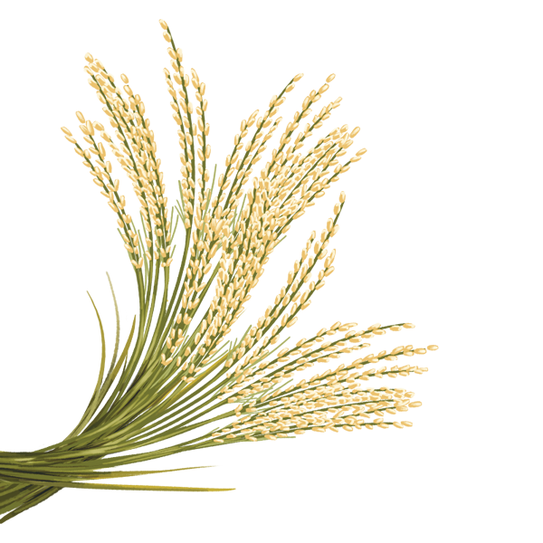 Rice crop png. Transparent images all photo