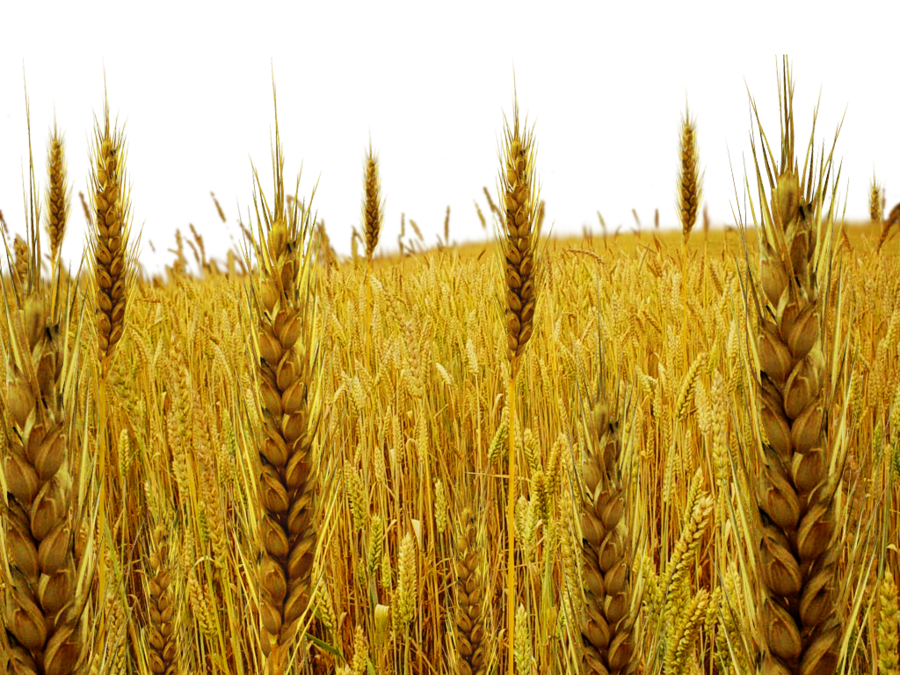 Tare by dbszabo on. Grain field png graphic freeuse stock