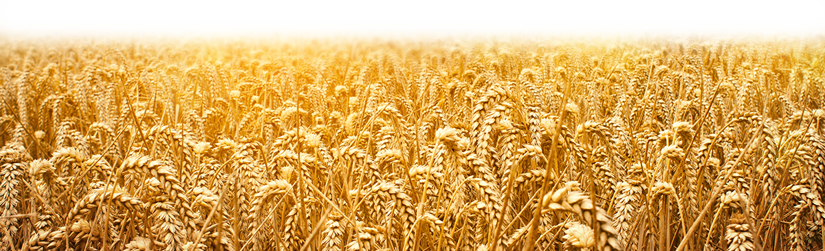 Wheat field png. Dallas advertising agency ad