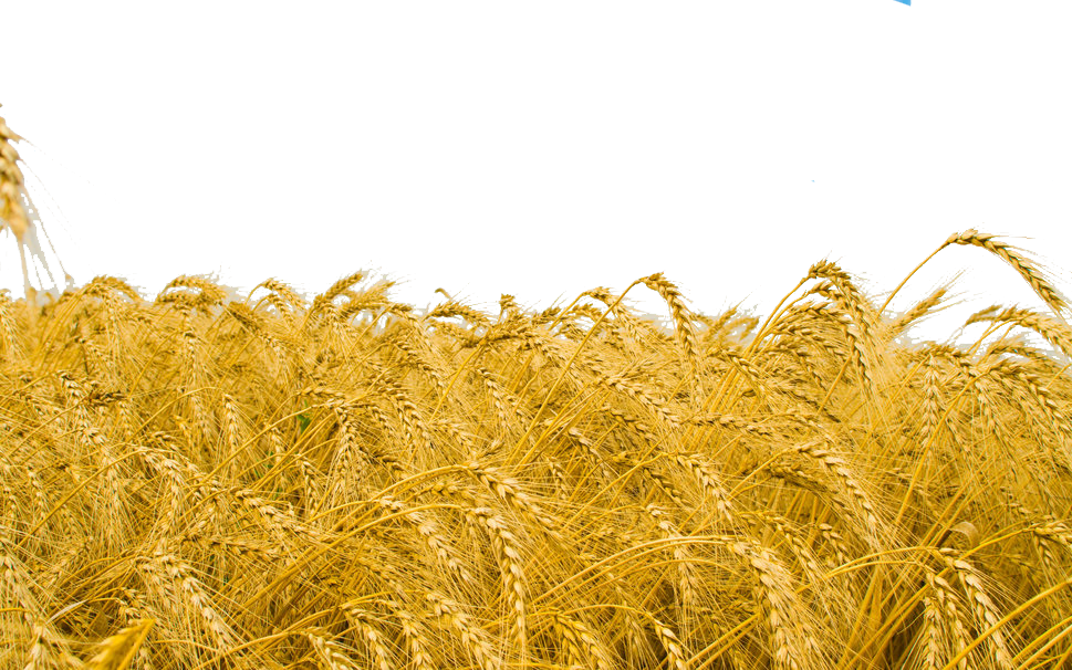 Wheat field png. Common crop high definition