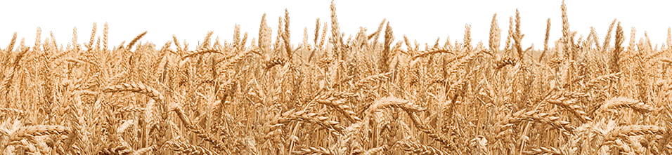 Grain field png. Collection of wheat