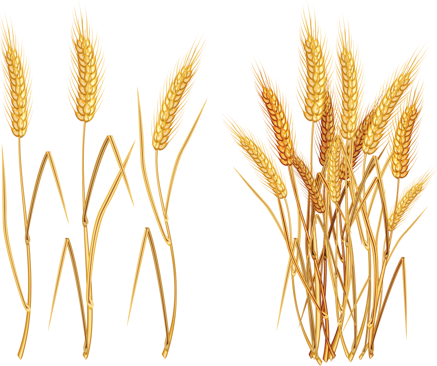 Grain plant png. Wheat free images toppng