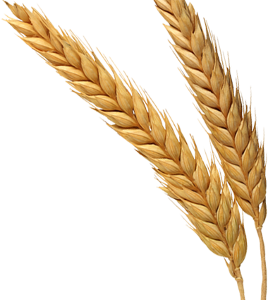 wheat grain png