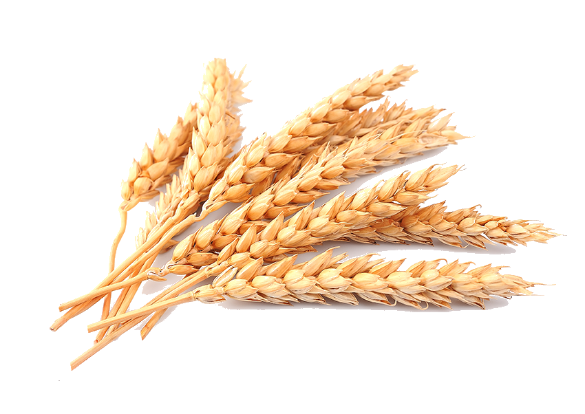Grain png. Wheat image purepng free