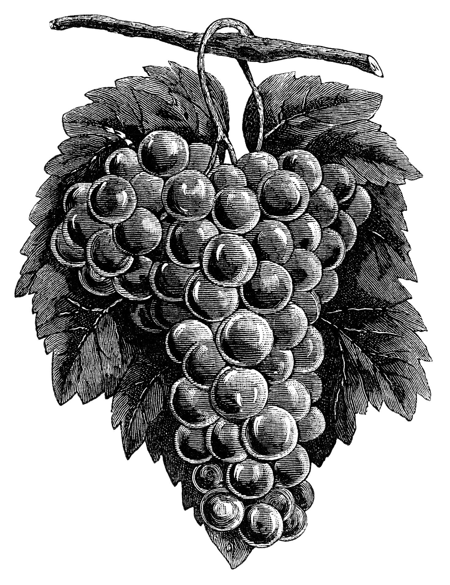 Grape clipart illustration. Cluster grapes black and