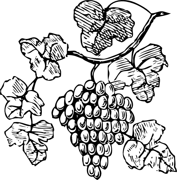 grapevine vector engraving