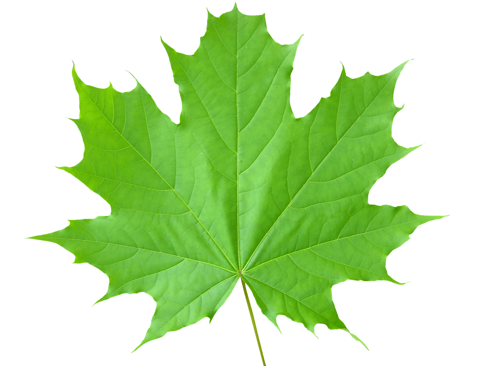 Green leafs png. Leaves images free download