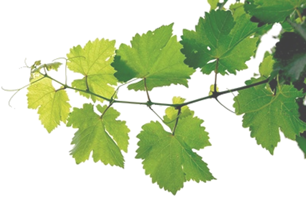 Grape vines png. Bkg in my spare