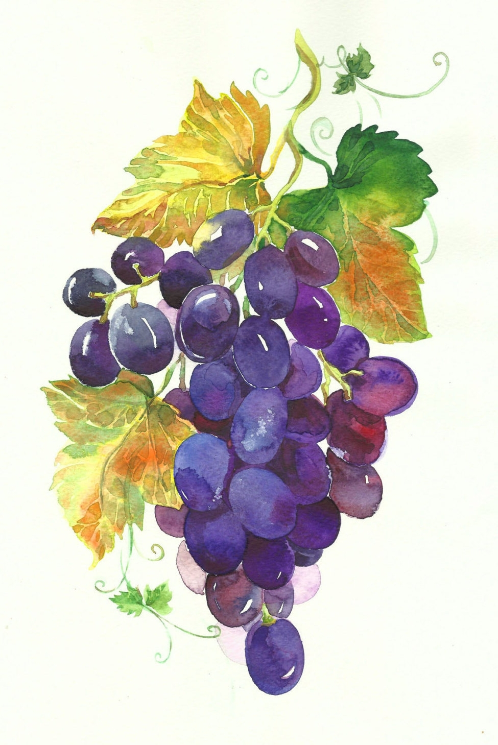 Grapevine clipart watercolor. Displaying photos of grape