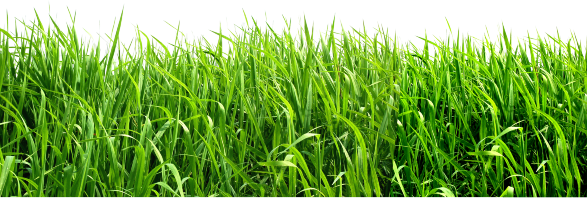 Grass background png. Image purepng free transparent