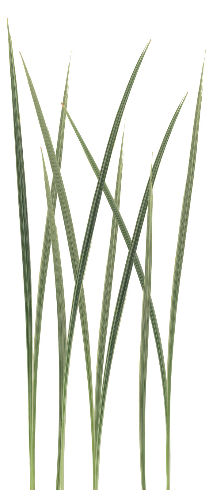 Grass blade texture png. Beautiful wild exellent imported