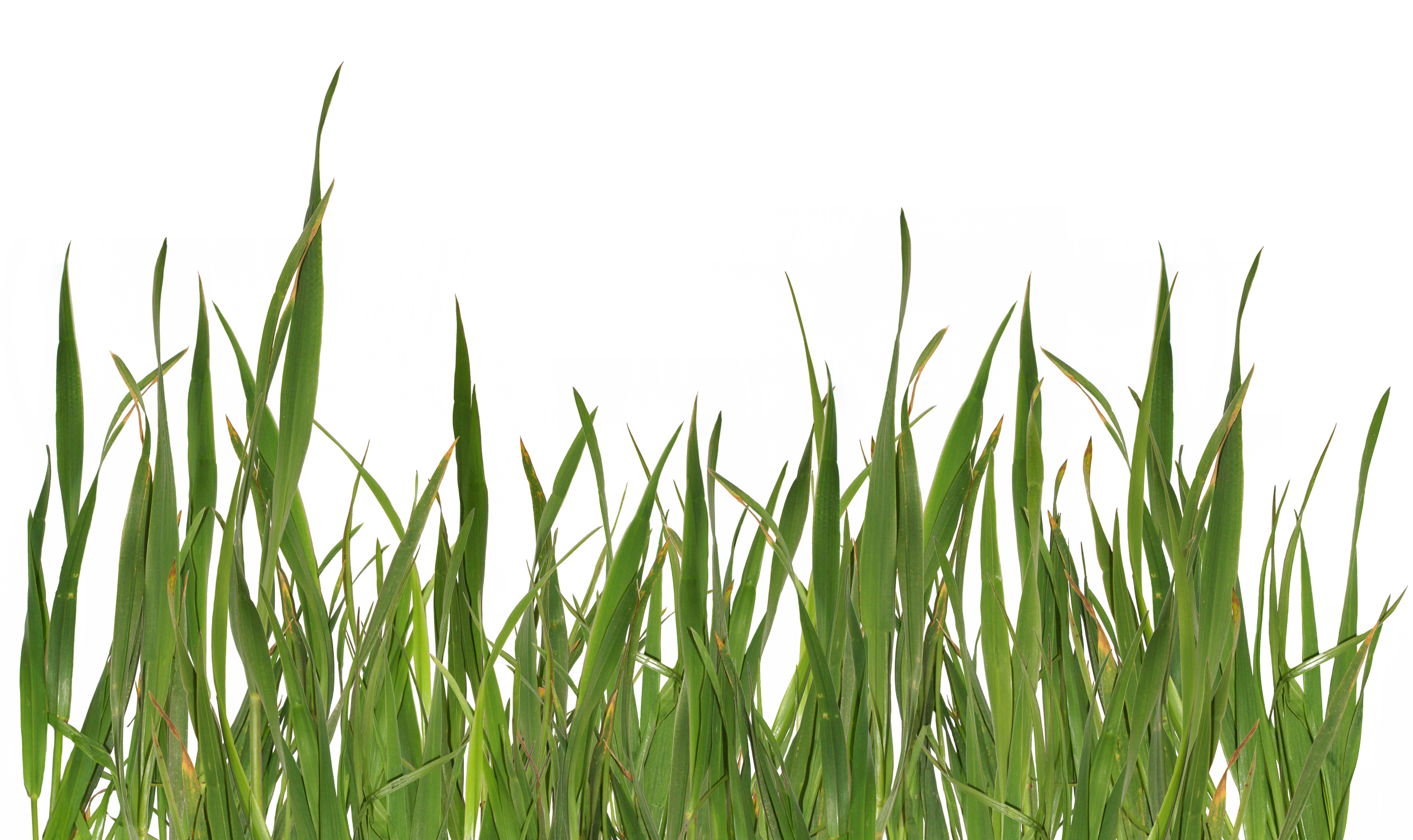 Grass blade texture png. Flower meaning submission pygmalion