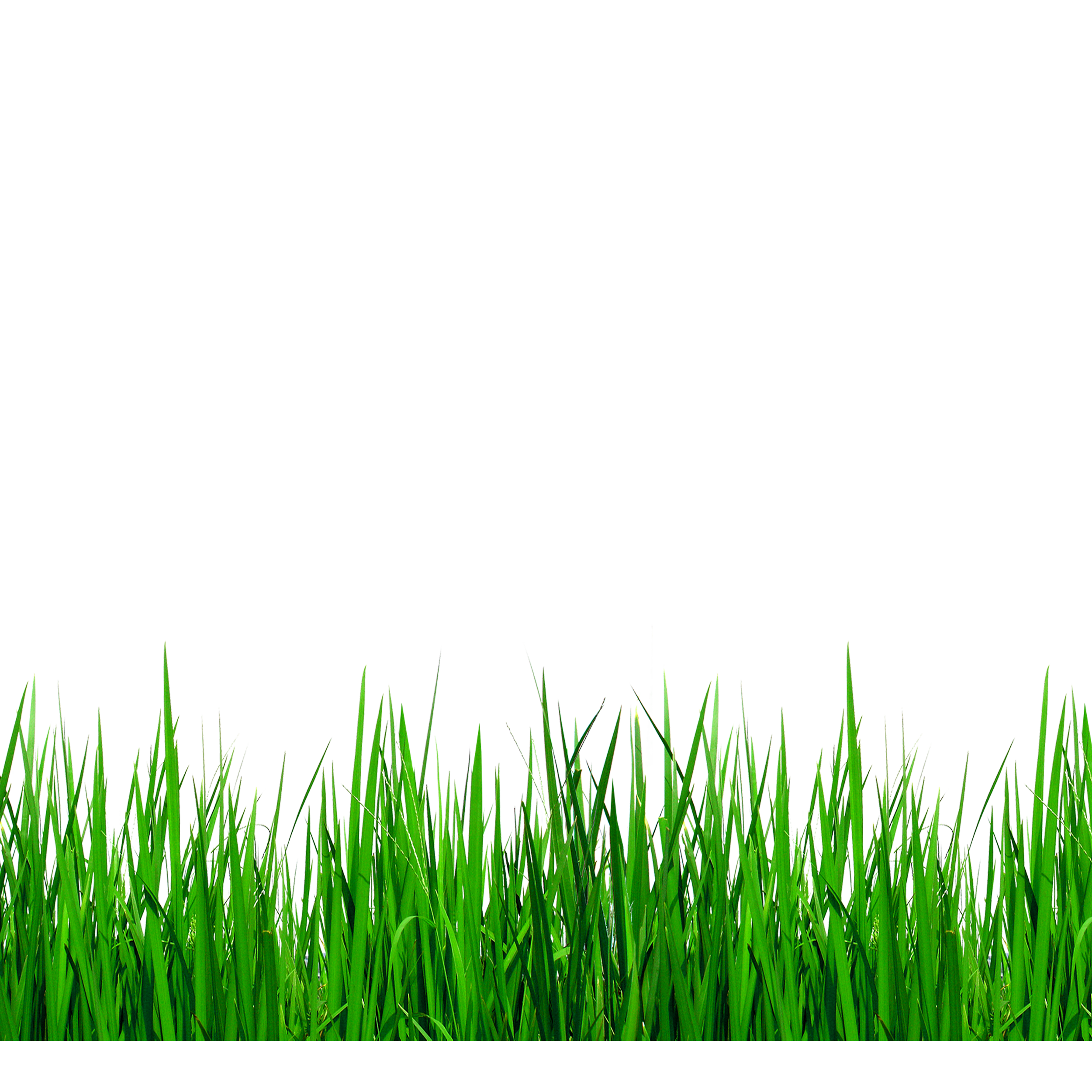 Lawn vector grass african. Download grasses clip art