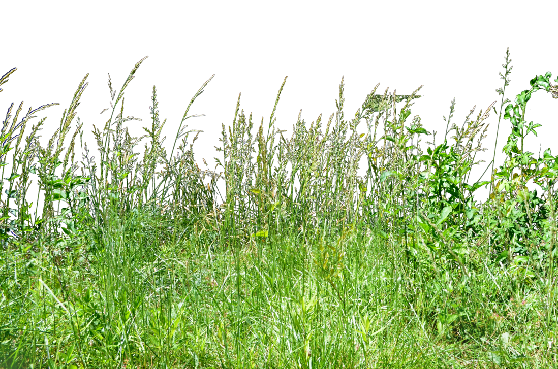 Grass in air png. Tall wheat stock photo