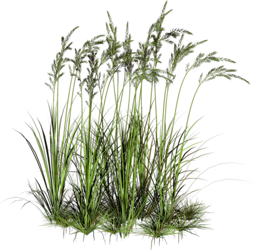 Grass plant png. Pin by aileen peh