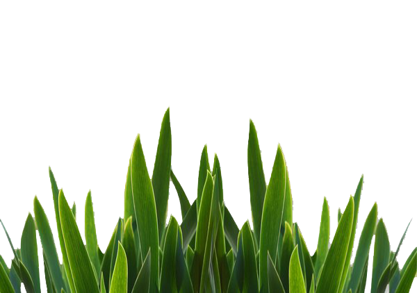 Grass png. Close up image transparent