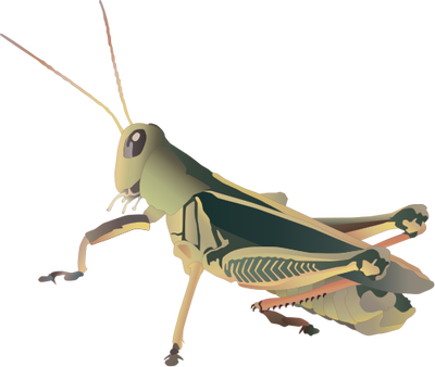 Grasshopper vector. Insects arachnids illustration drawing