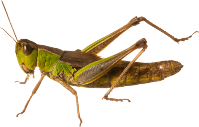 Grasshopper vector food chain. Millions of png images