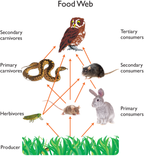 Grasshopper vector food chain. Flow of energy in