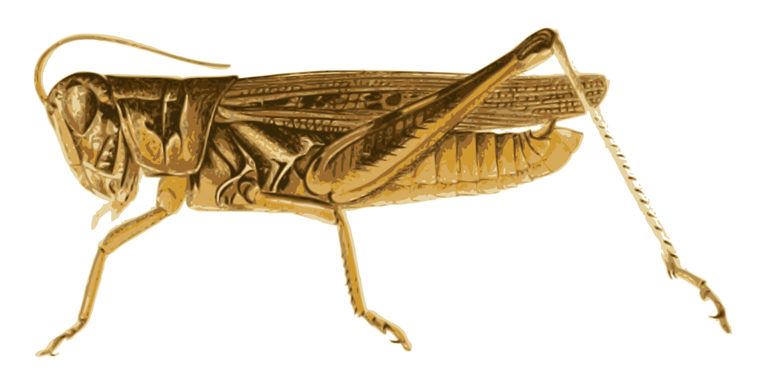 Grasshopper vector illustration. Locust insect butterfly pollinator