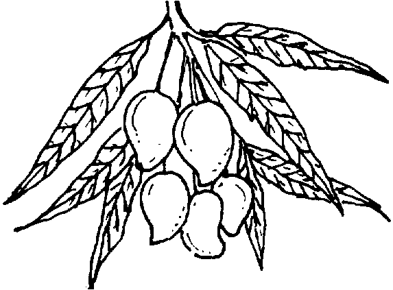 Gray mango. Coloring picture of a