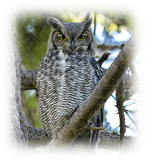 Horned owl png. Images great brendan lally