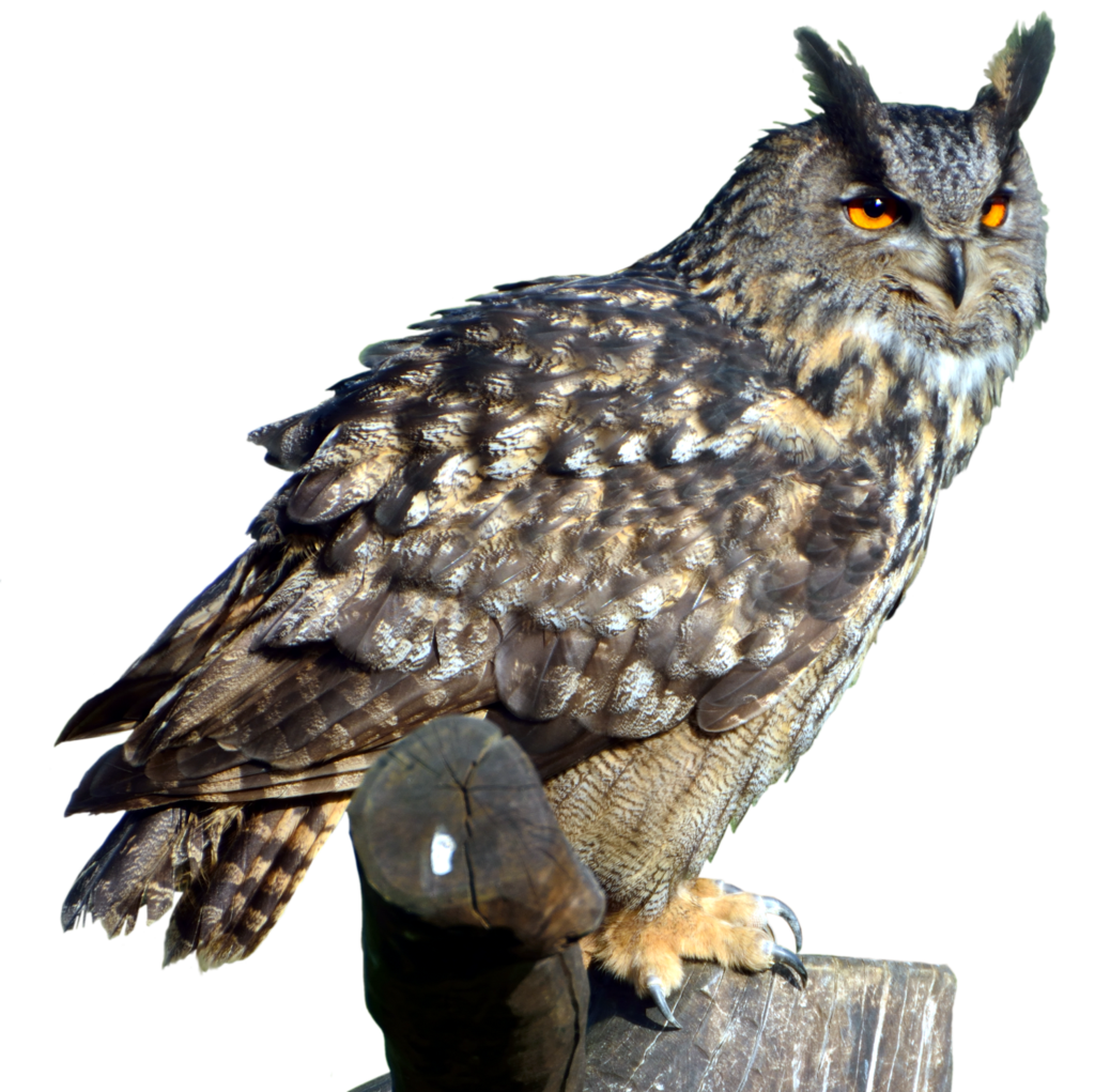 Great horned owl png.