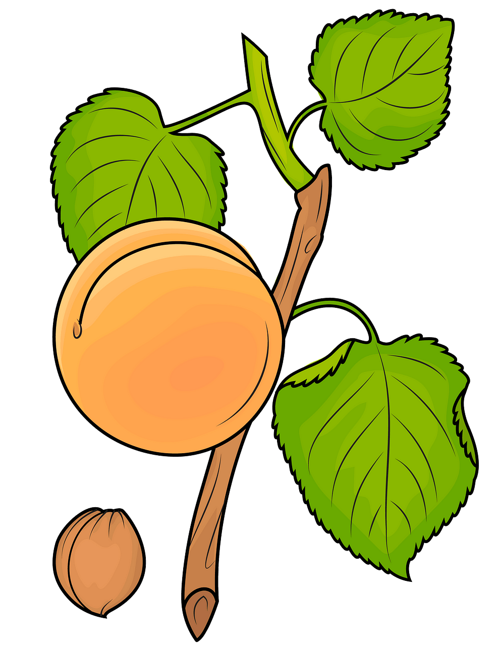 Green apricot. On the branch clipart