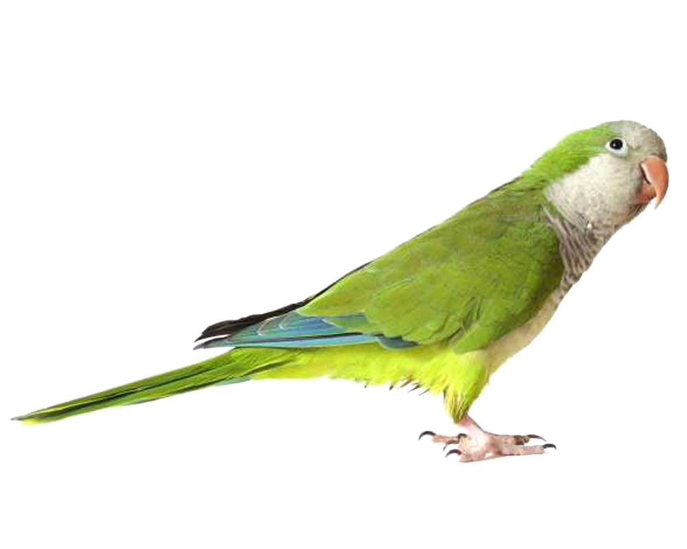 Green bird png. Parrot images free download