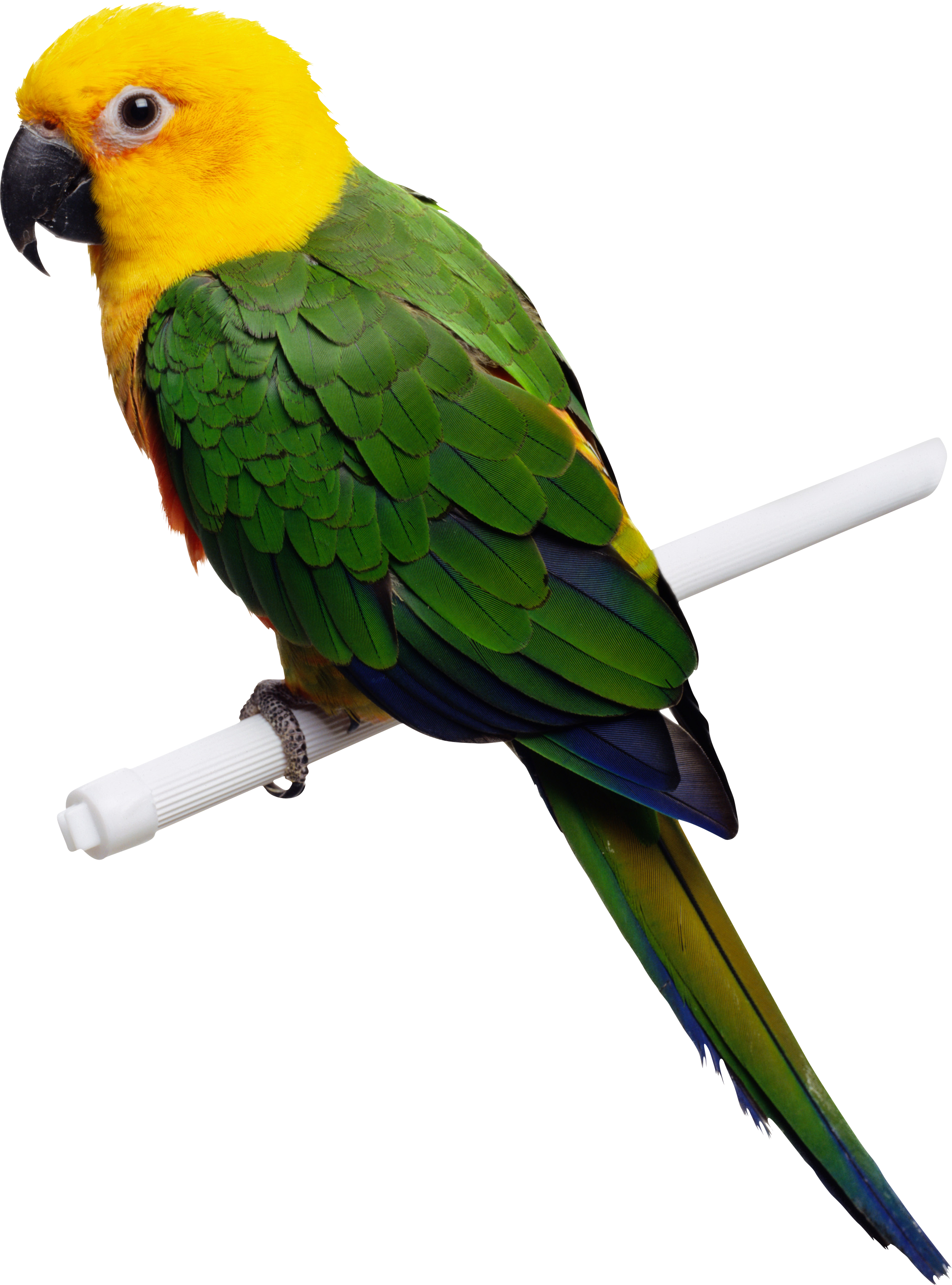 drawing parrot