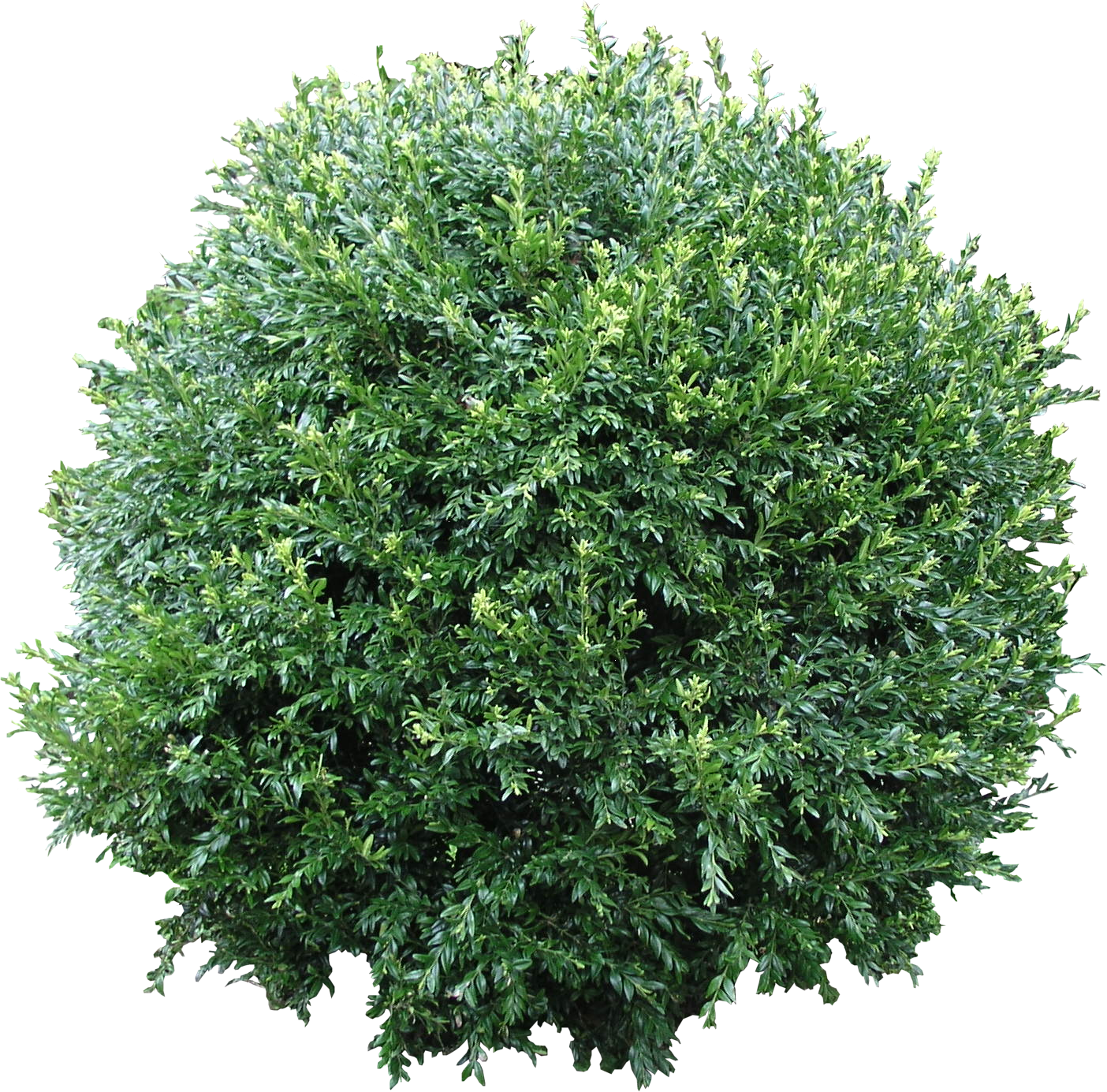 Green bushes png. Bush transparent free images