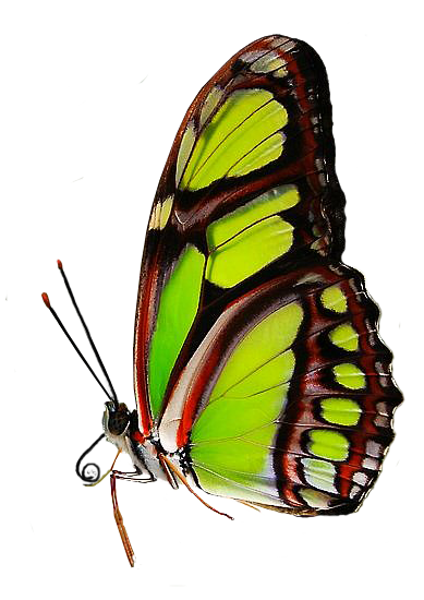 Green butterfly png. By xybutterfly on deviantart