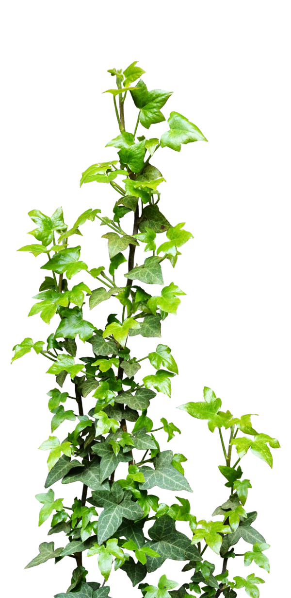 Green ivy png. Vine transparent free icons