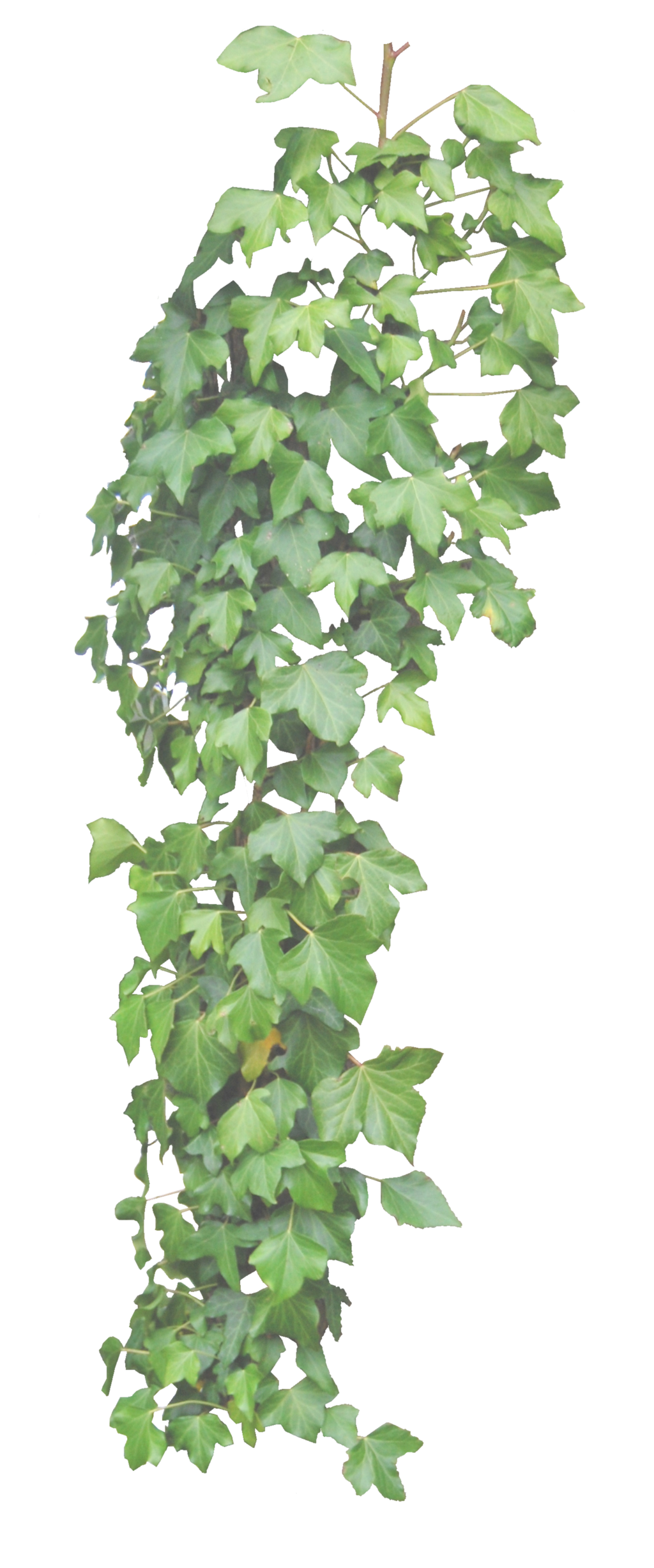 Hanging ivy png. By alz stock and