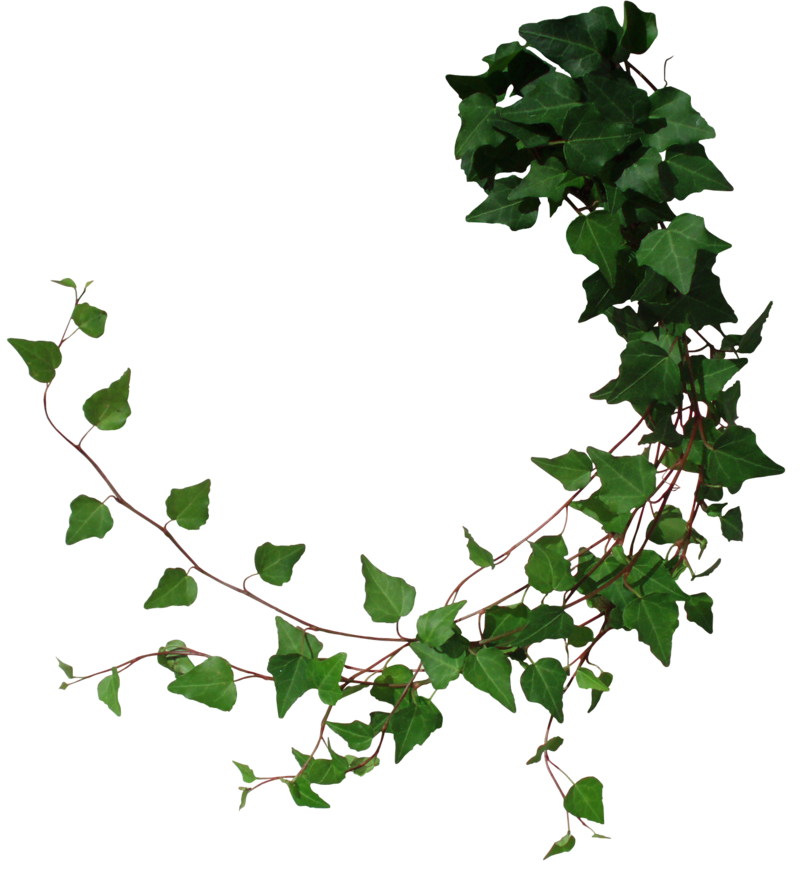 Ivy by black b. Vines png clip art stock