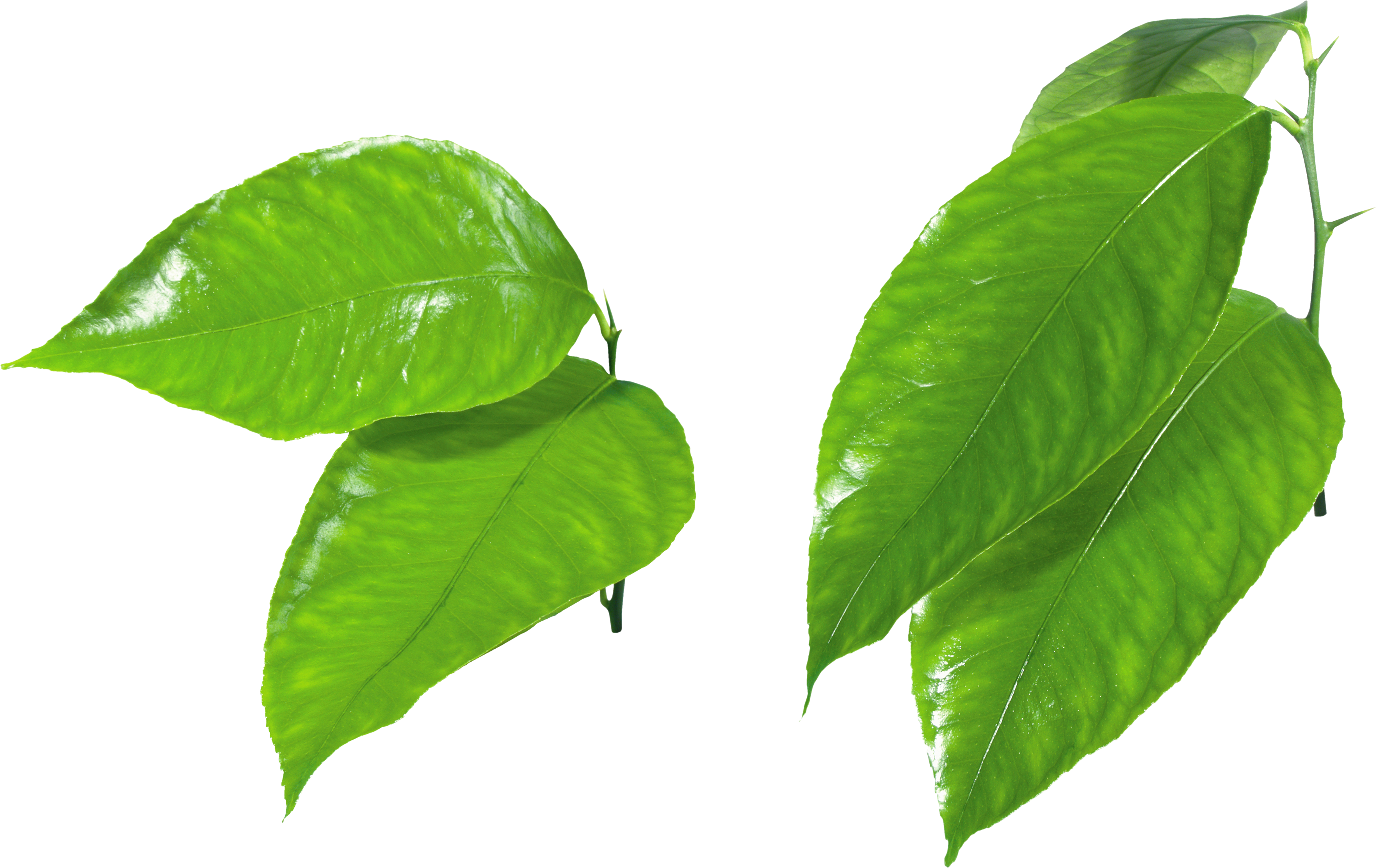 Green leaf png. Leaves images free download