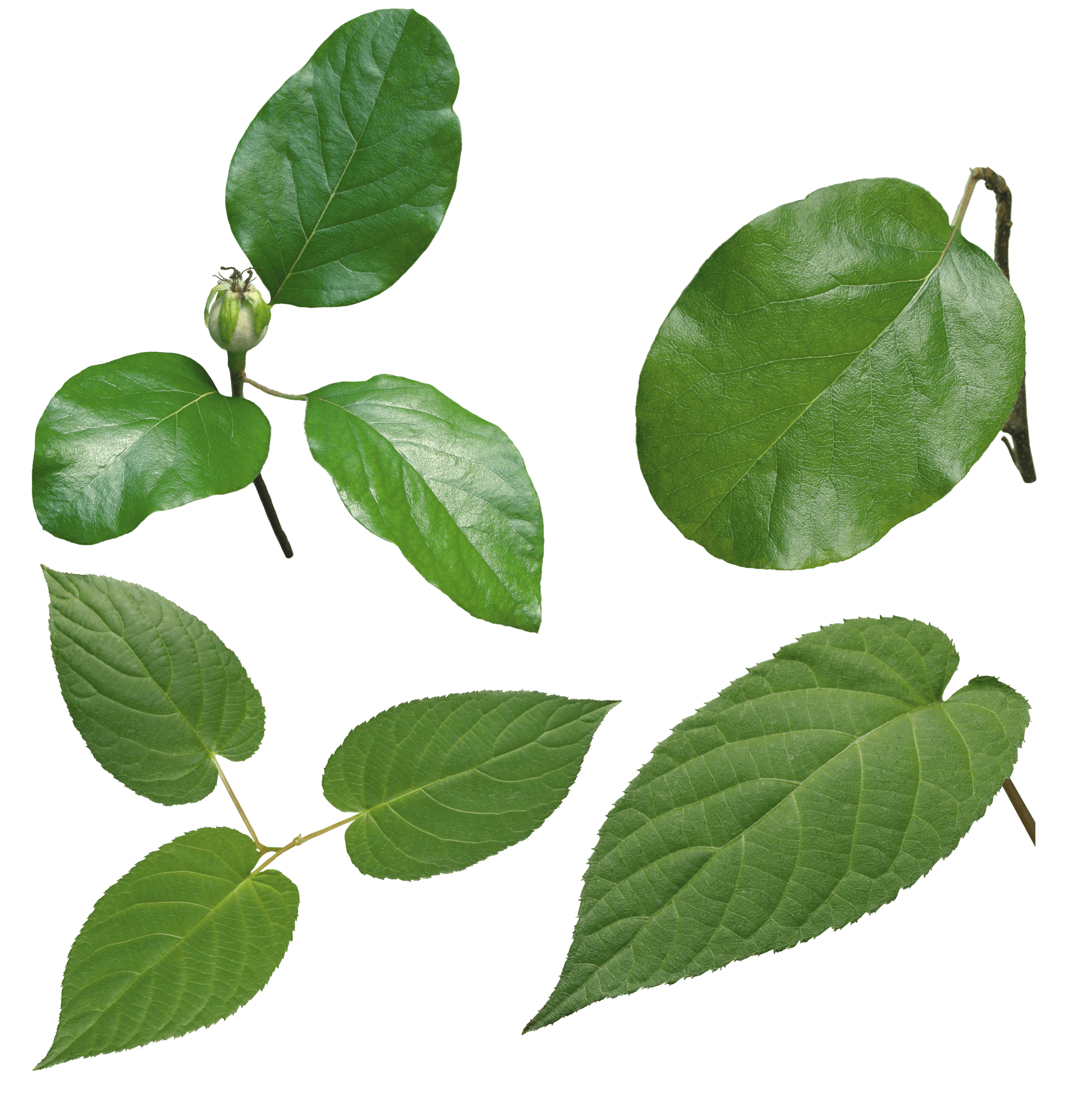 Leaves in the wind png. Images transparent free download