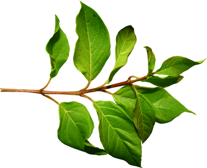 Green leaves png. Free images toppng transparent
