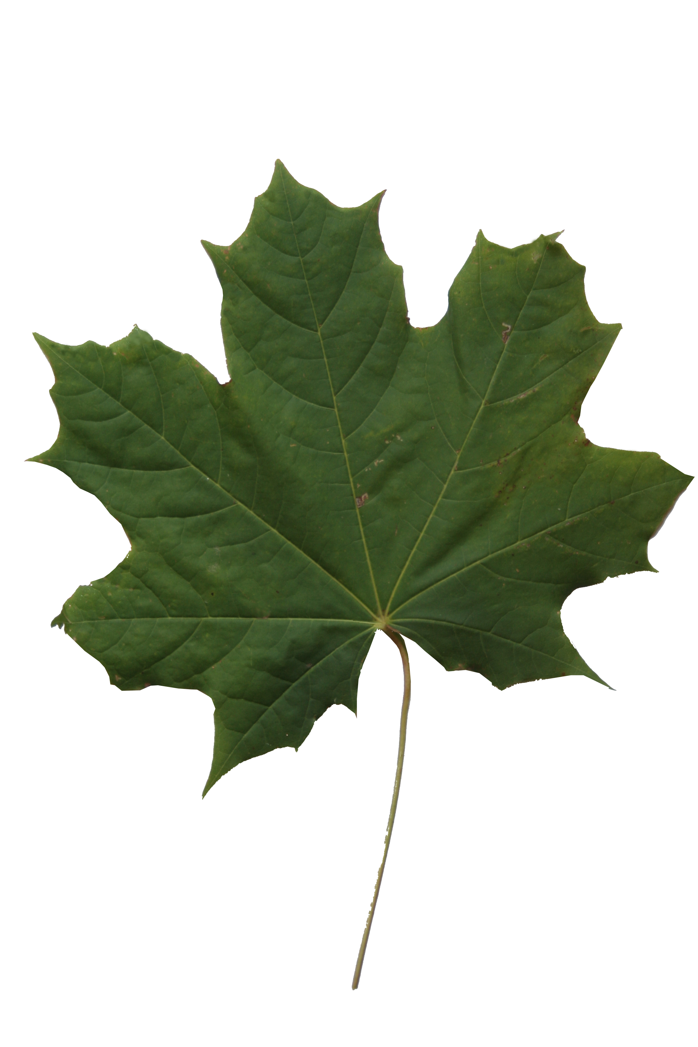 Leaf texture png. Maple free cut out