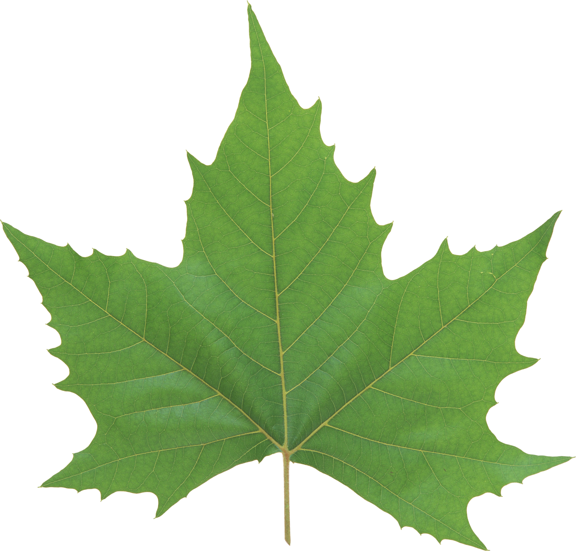 Leaf texture png. Green leaves image purepng
