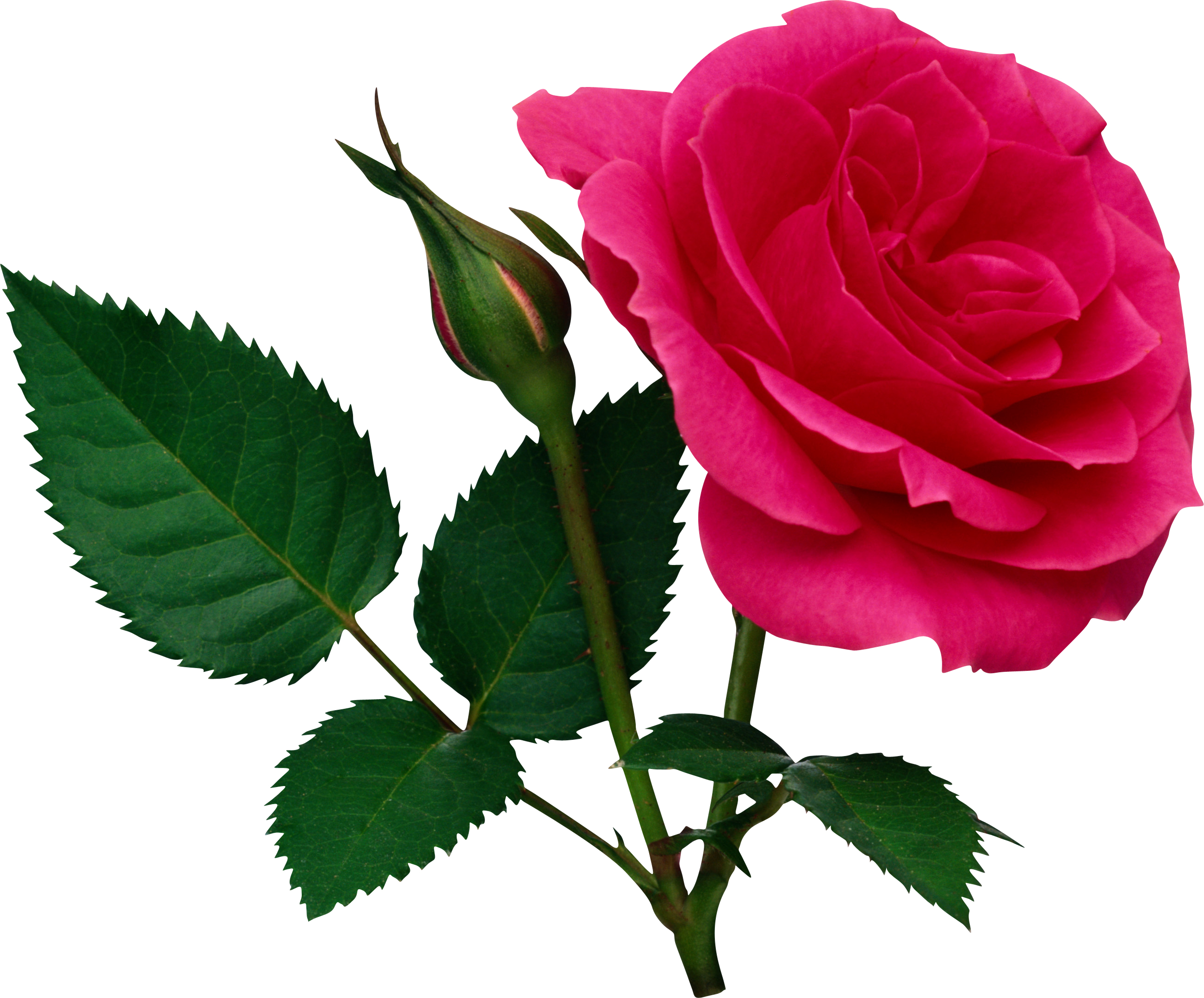 Green rose png. Pink large and bud