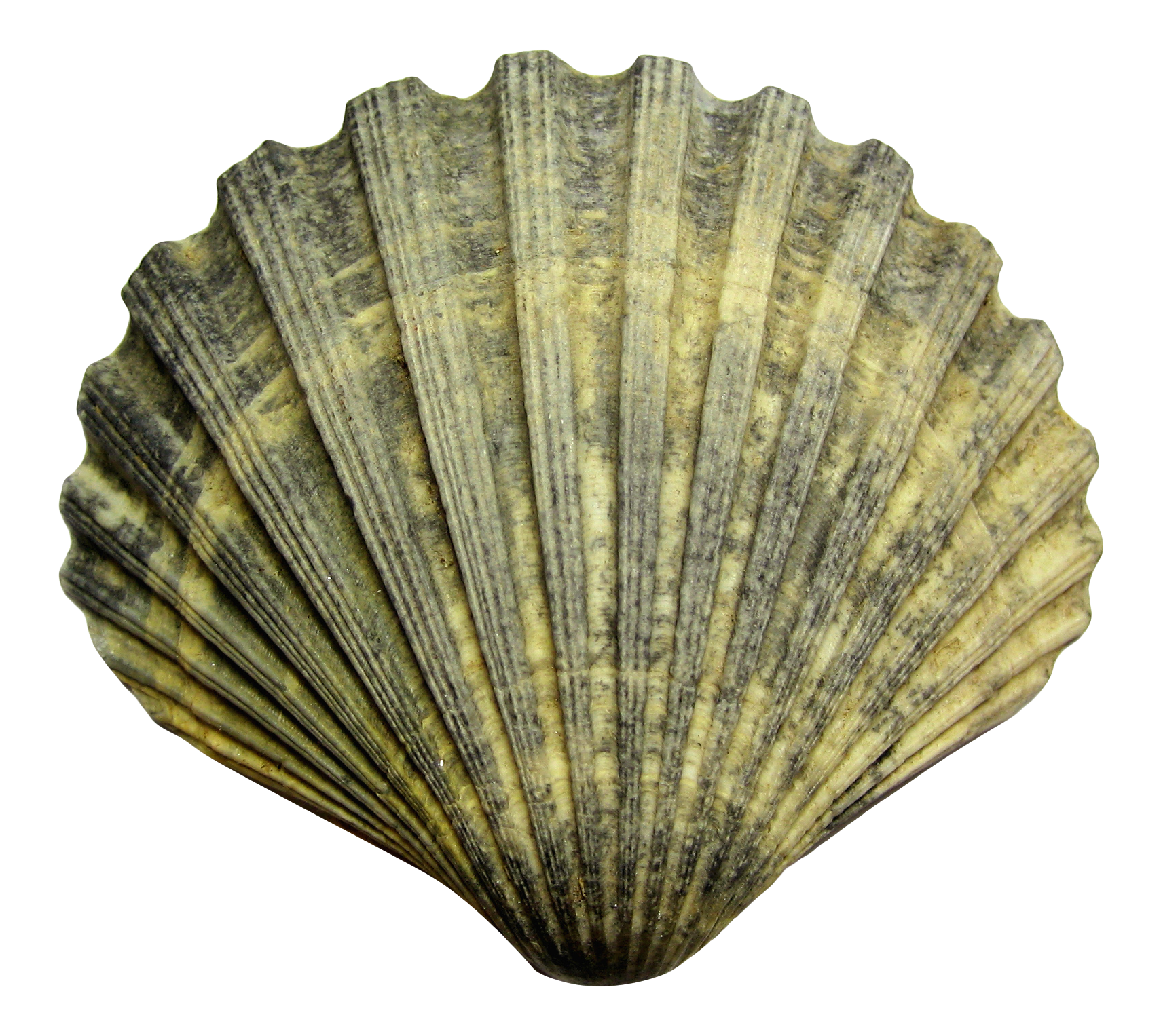 Green shells png. Shell transparent images all