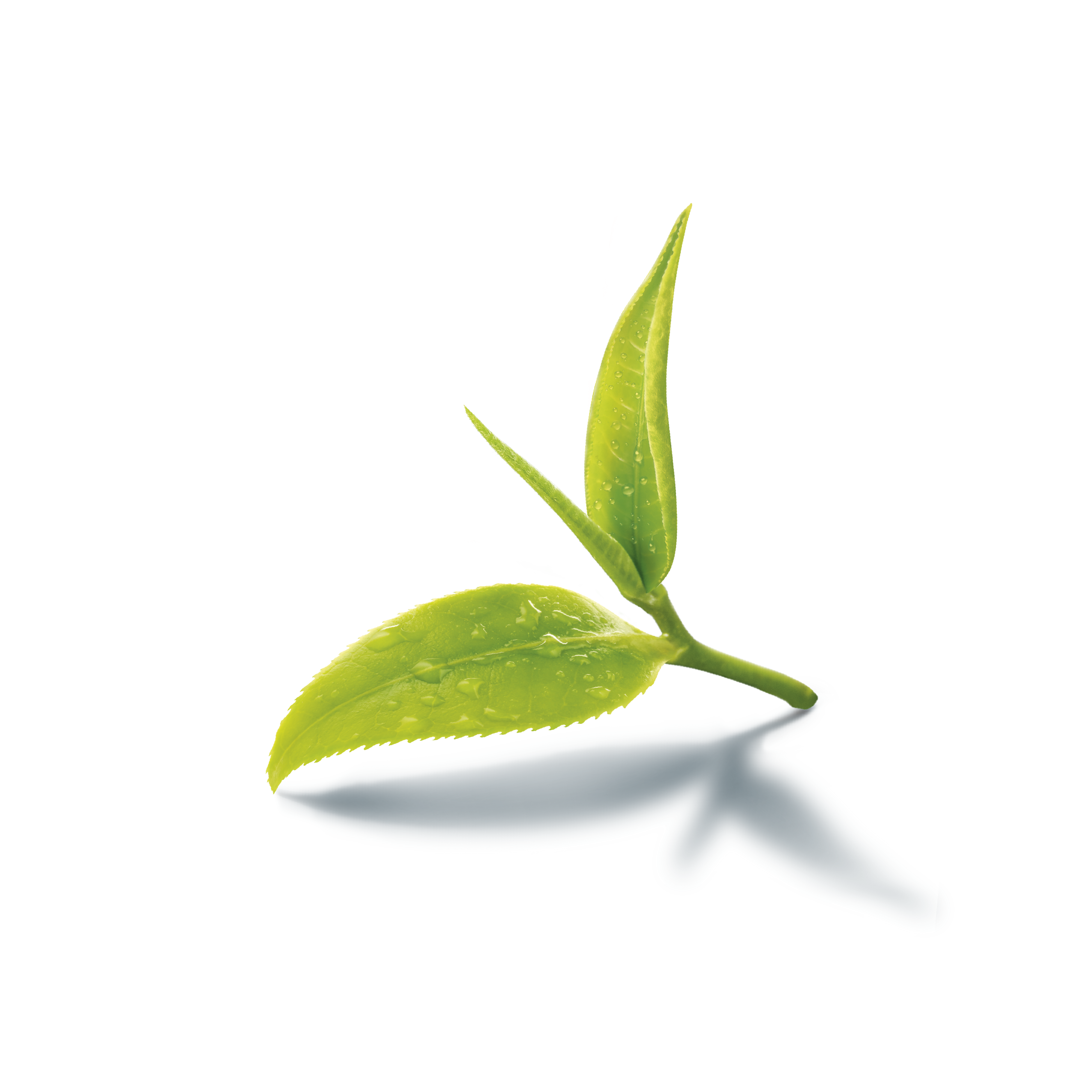 Green tea leaf png. Iced assam production in